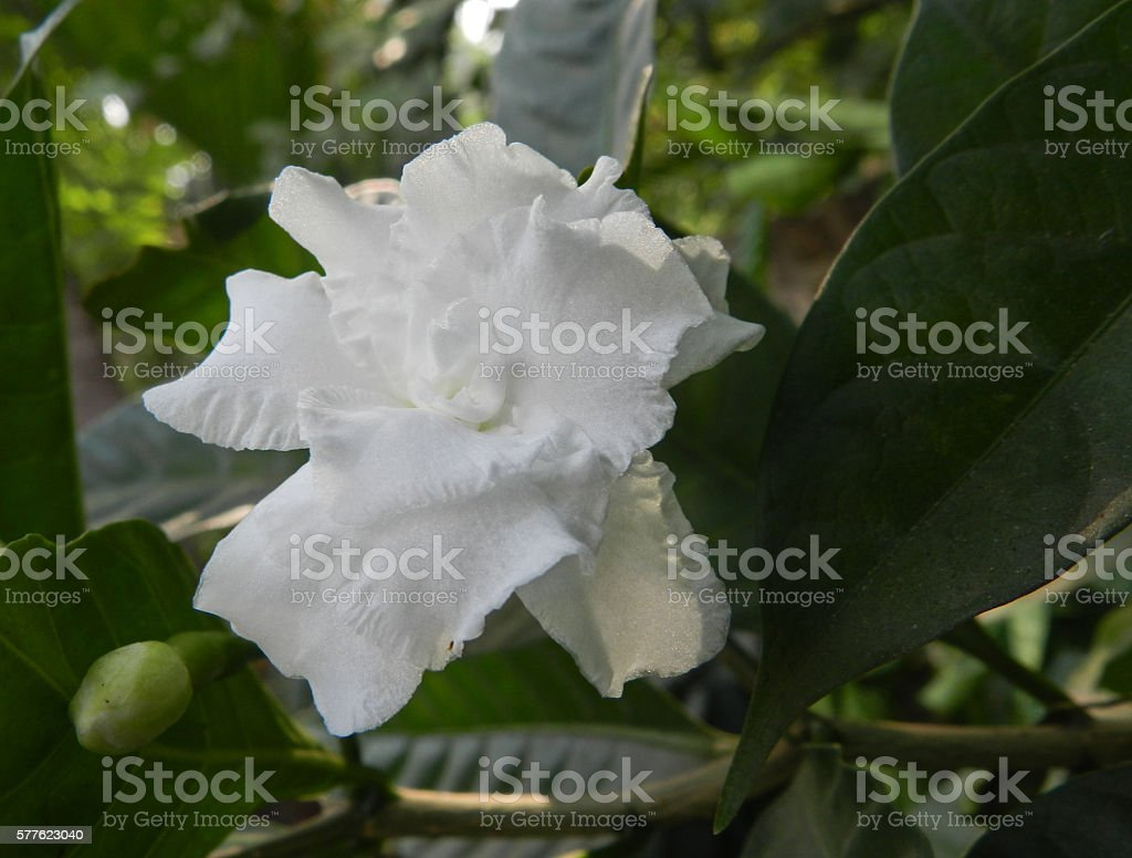 Crep Jasmine Flower Stock Photo More Pictures Of Bud Istock