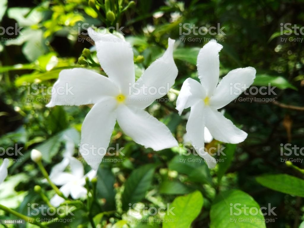 Crepe Jasmine Flower Stock Photo More Pictures Of Beauty In Nature