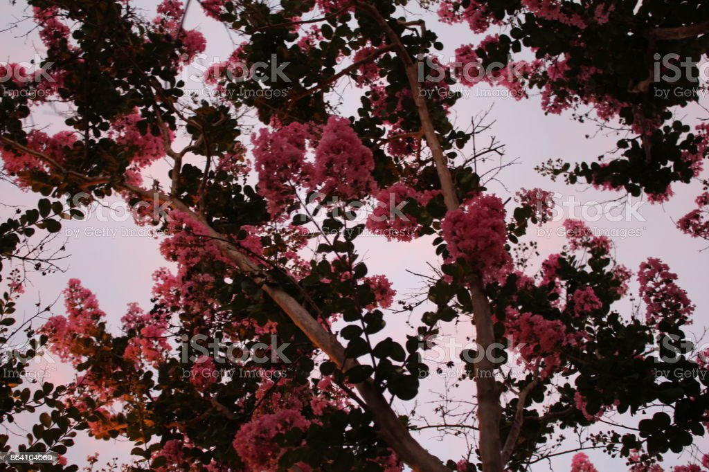 Crepe Myrtle Collection royalty-free stock photo