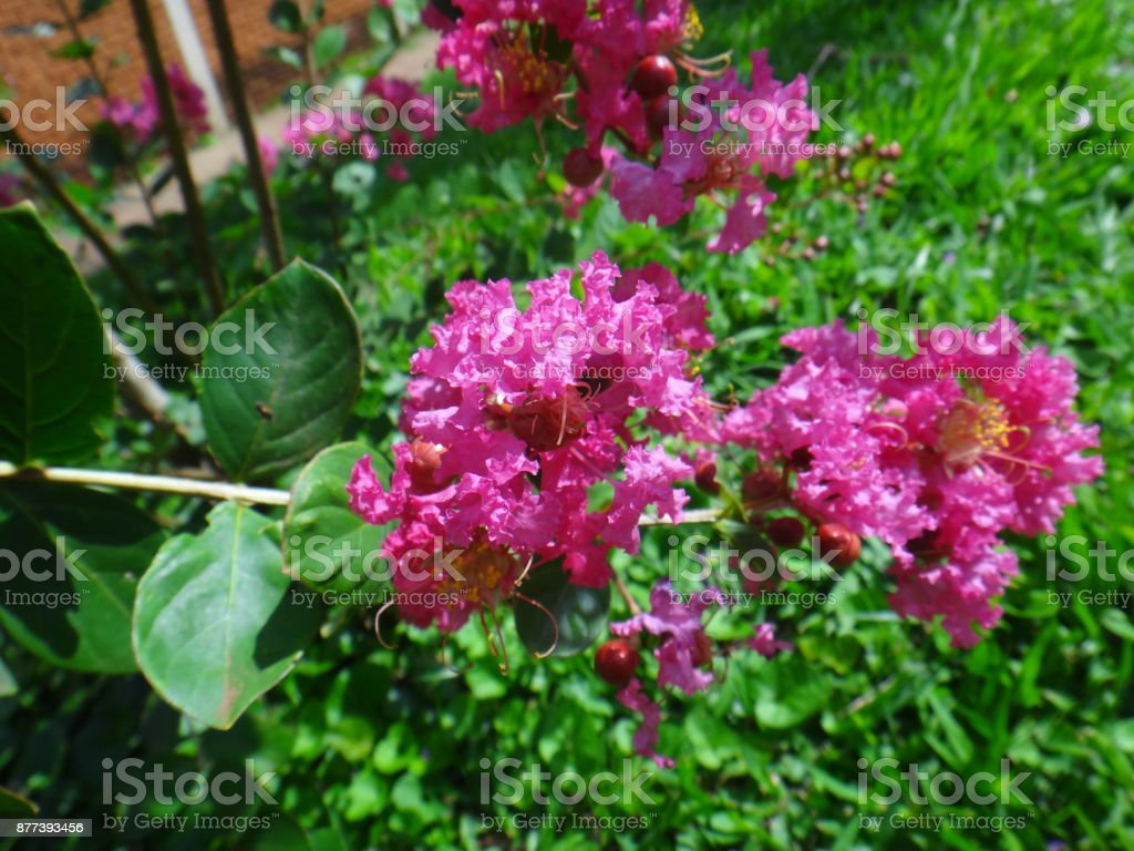 Crepe Myrtle Flowers Blooming Hot Pink Colour Stock Photo More