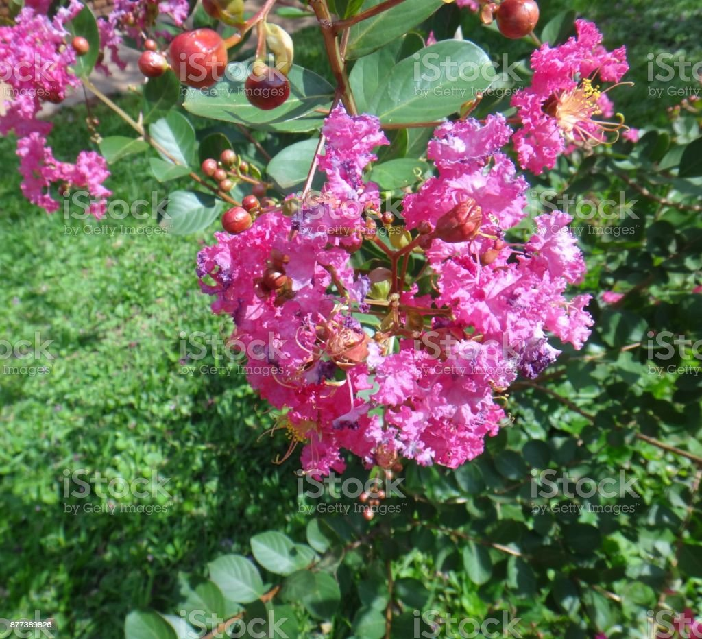 Crepe Myrtle Or Lagerstroemia Indica Flowers Violet Red Colour Stock ...