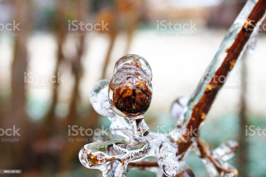 Crepe Myrtle seed pod encased in ice during winter - Zbiór zdjęć royalty-free (Arktyka)