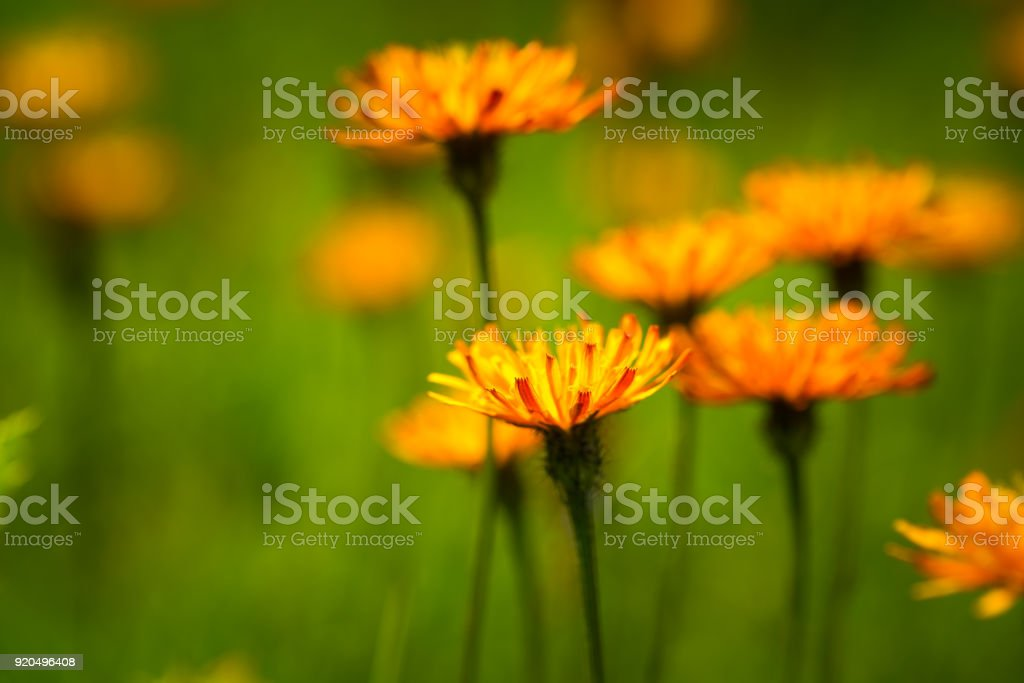Crepis alpina - Abstract background of Alpine flowers stock photo