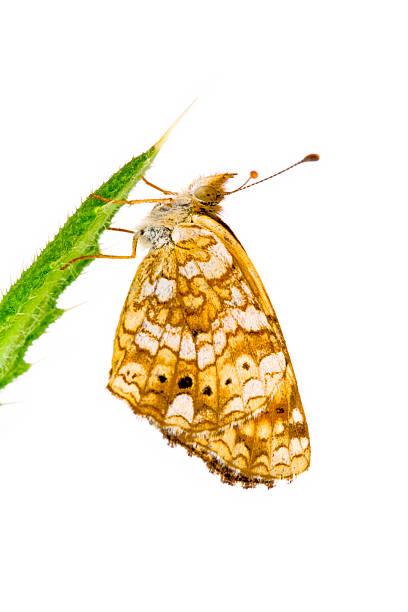 Crescent Schmetterling, Genus Phyciodes – Foto