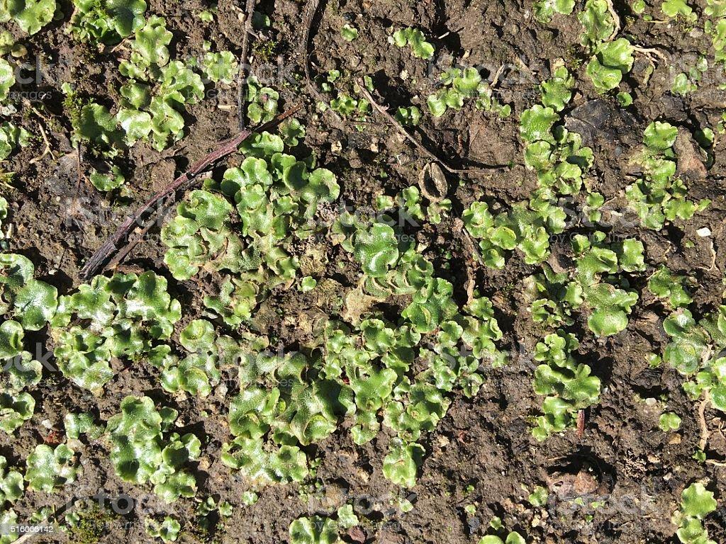 crescent cup liverwort, Lunularia cruciata stock photo