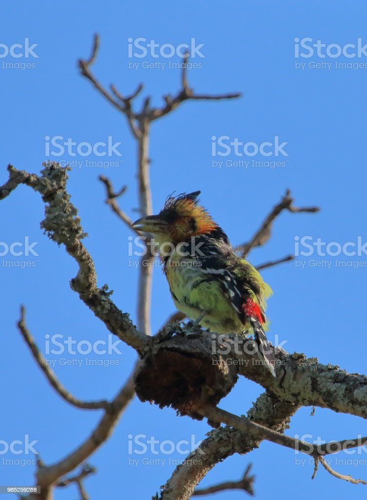 Crested Barbet High in a Tree royalty-free stock photo