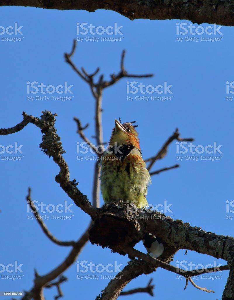 Crested Barbet High in a Tree - Zbiór zdjęć royalty-free (Afryka)