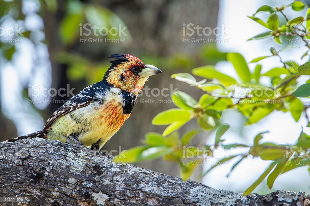 Crested Barbet in Kruger National park, South Africa stock photo