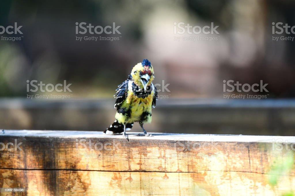 Crested Barbet – Foto