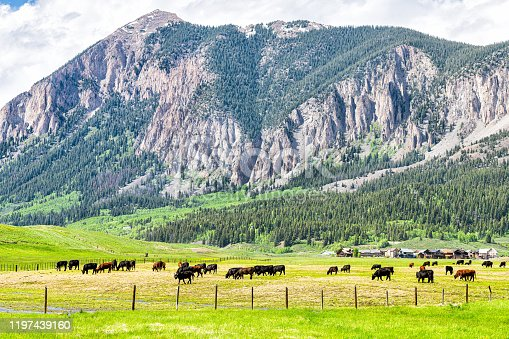 Crested Butte, Colorado mountain view in summer in Rocky Mountains with herd of many cows grazing on grass meadow field farm and houses in background