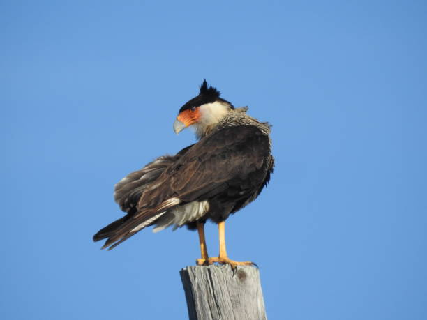 Crested caracara before a blue sky stock photo