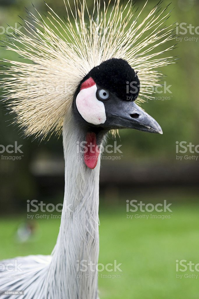Crested Crane royalty-free stock photo