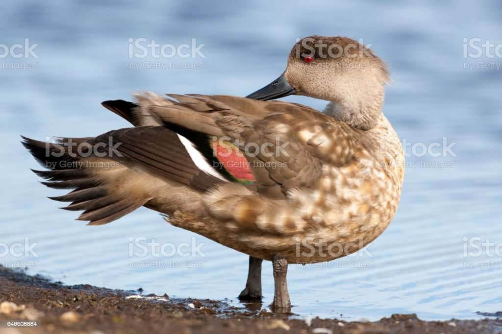 Crested Duck Preening on the Falkland Islands stock photo