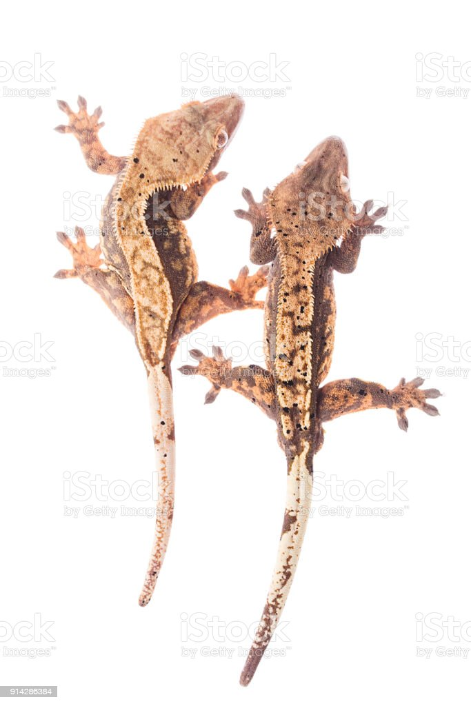 Crested Gecko Couple Isolated White Background Stock Photo More