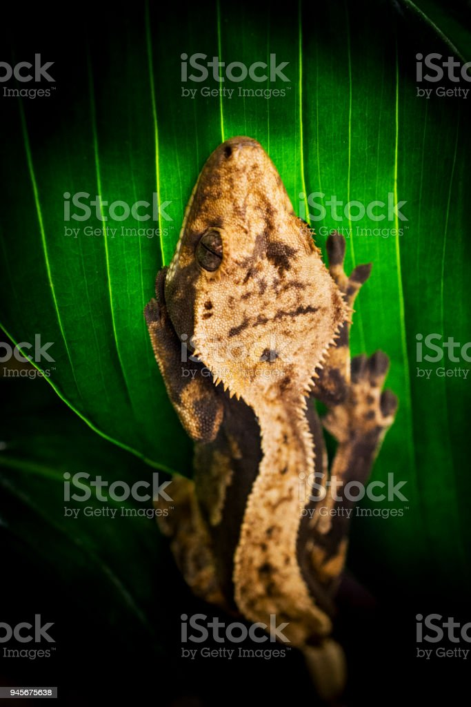 Crested Gecko On Leaf Stock Photo & More Pictures of Animal | iStock
