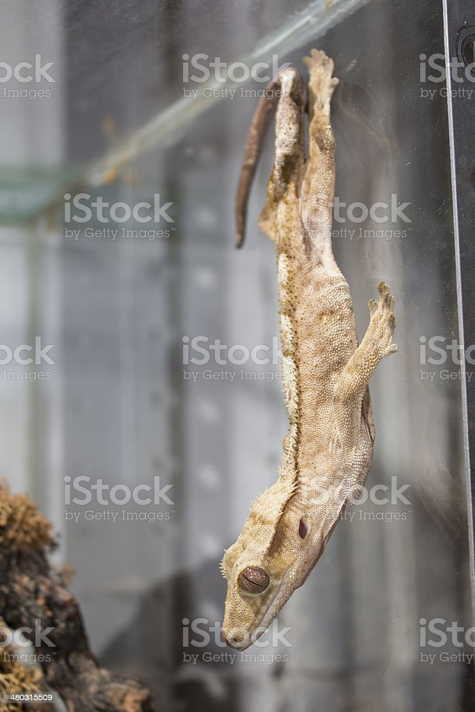 Crested Gecko on the glass royalty-free stock photo