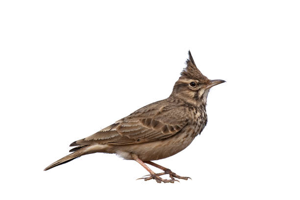 Crested Lark isolated on white background, Galerida cristata stock photo
