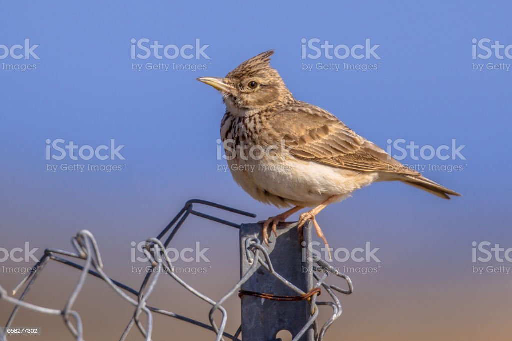 Crested lark  on metal fence stock photo