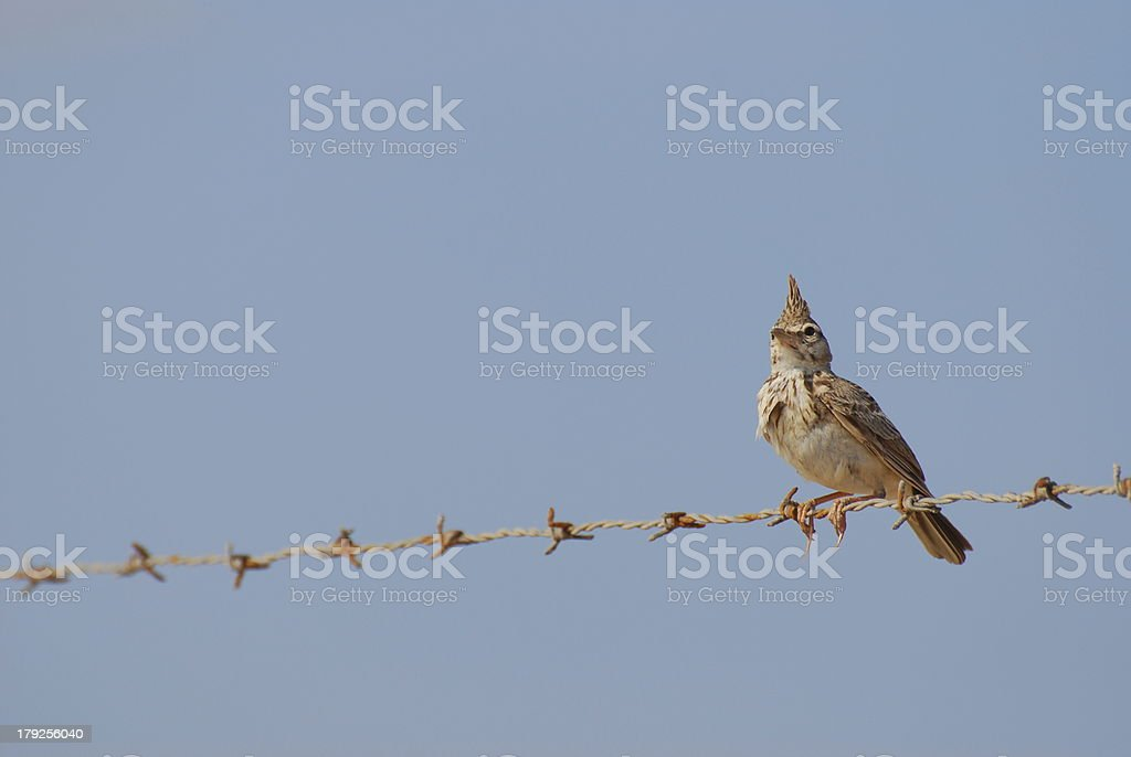 Crested Lark Perched on Barb-Wired Fence stock photo