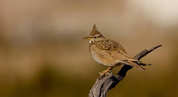 Crested lark stock photo