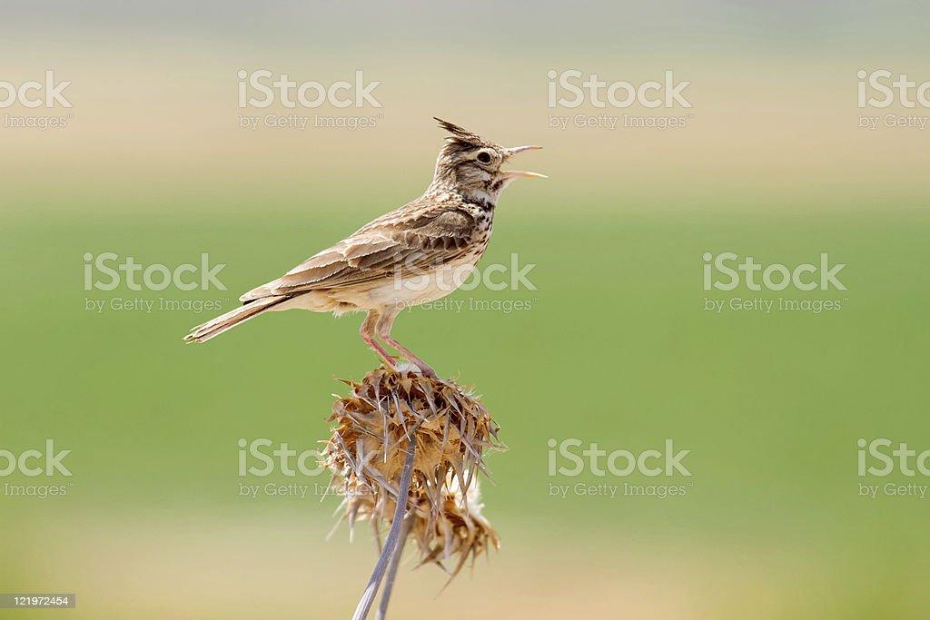 Crested Lark Singing stock photo