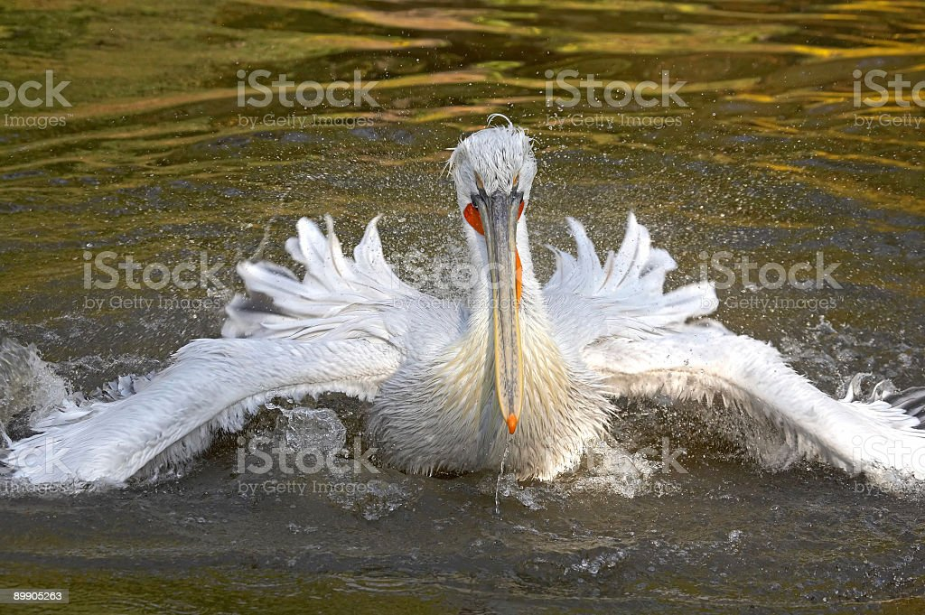 Crested pelican royalty free stockfoto