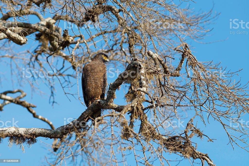 Crested Serpent on tree, Yala National Park, Sri Lanka royalty-free stock photo