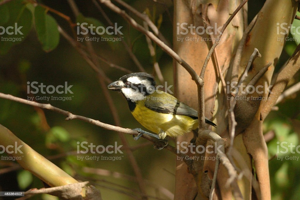 Crested Shrike-tit stock photo