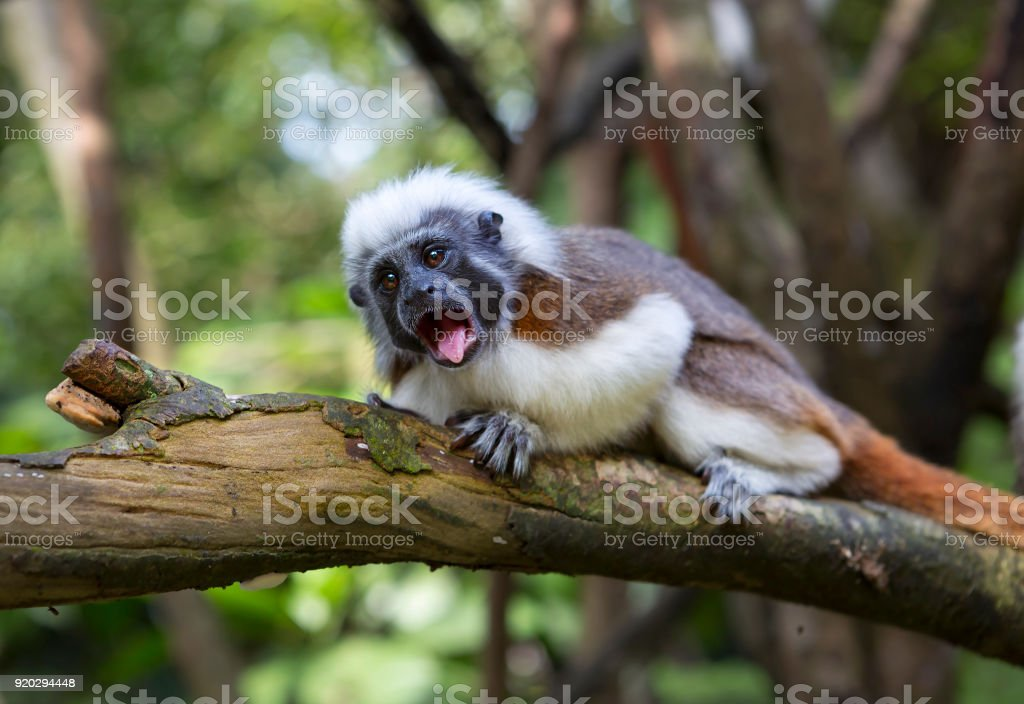 Crested Tamarin or monkey pinch, or Oedipus marmoset. stock photo