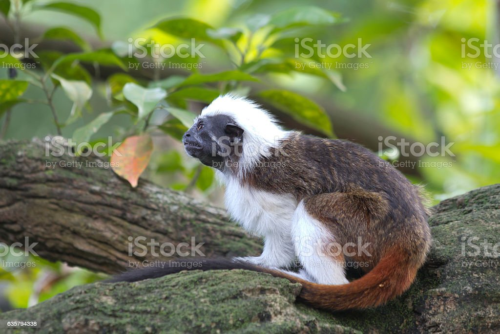 Crested Tamarin or monkey pinch stock photo