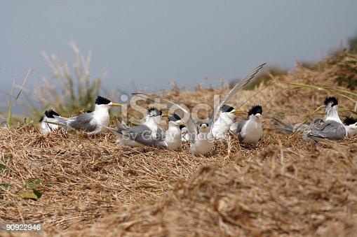 Crested Terns During Breeding and Nesting on Montague Island