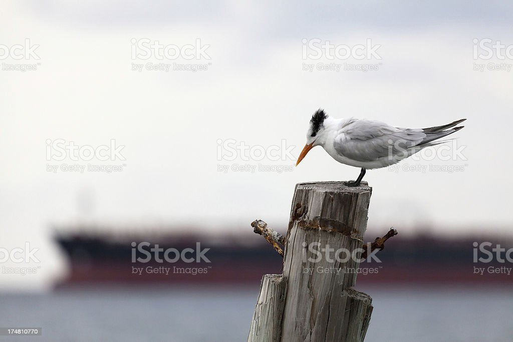 Crested tern (Sterna bergii) on the wooden pole royalty-free stock photo
