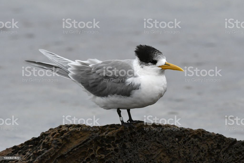 Crested Tern, Sterna bergii stock photo