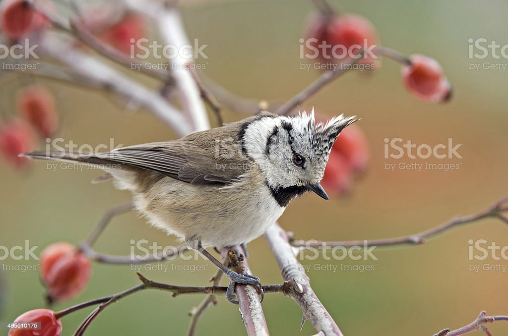 Crested tit on a twig stock photo
