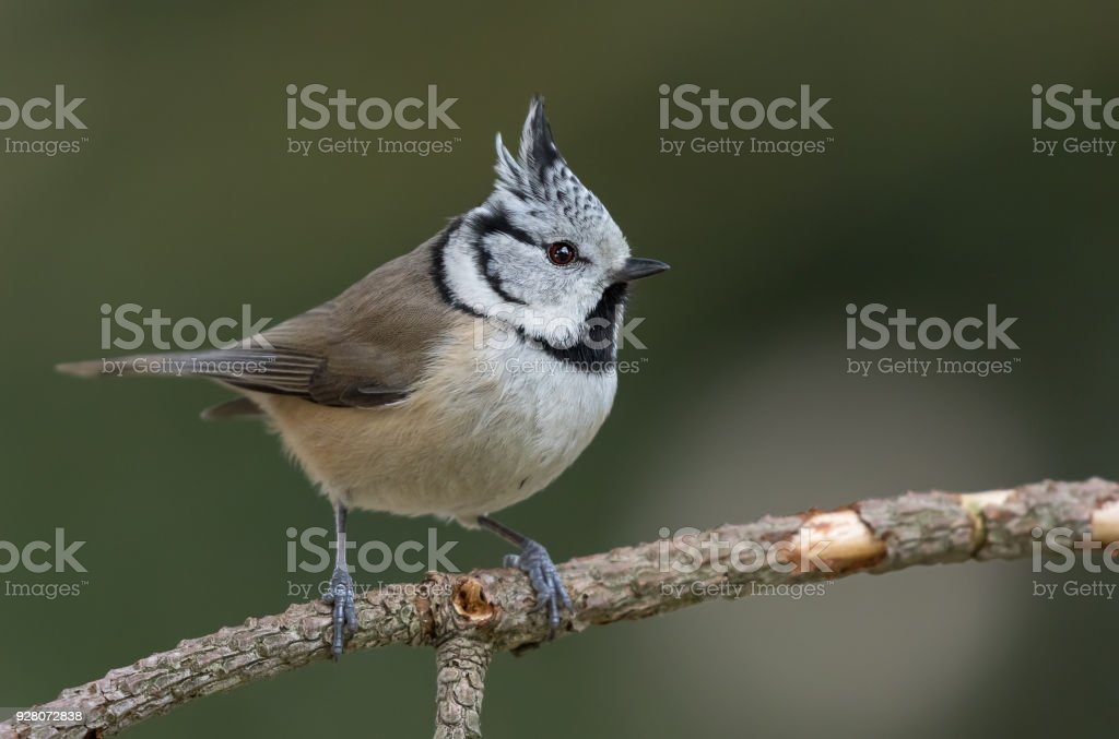 Crested tit perching on a twig stock photo