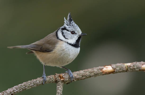crested tit perching on a twig - one animal stock photos and pictures