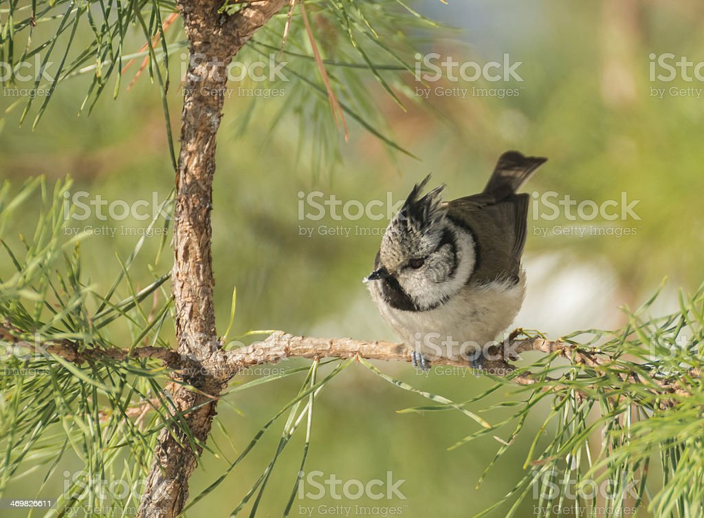 Crested tit stock photo