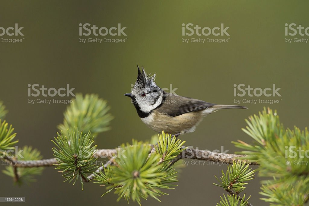 Crested Tit Crested Tit Perched In A Pine Tree Animal Body Part Stock Photo