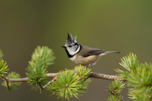 Crested Tit Stock Photo - Download Image Now