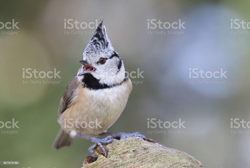 Crested tit (Lophophanes cristatus) singing stock photo