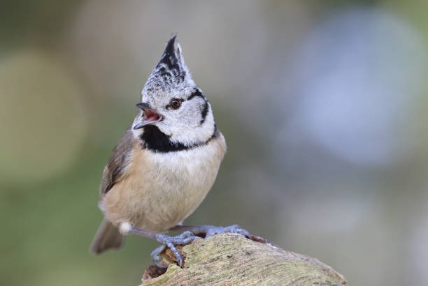 crested tit (lophophanes cristatus) singing - one animal stock photos and pictures