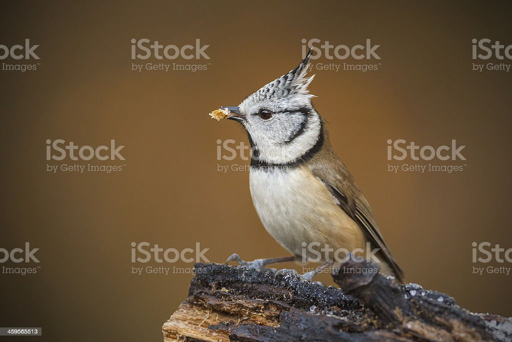 Crested titwith mealworm stock photo
