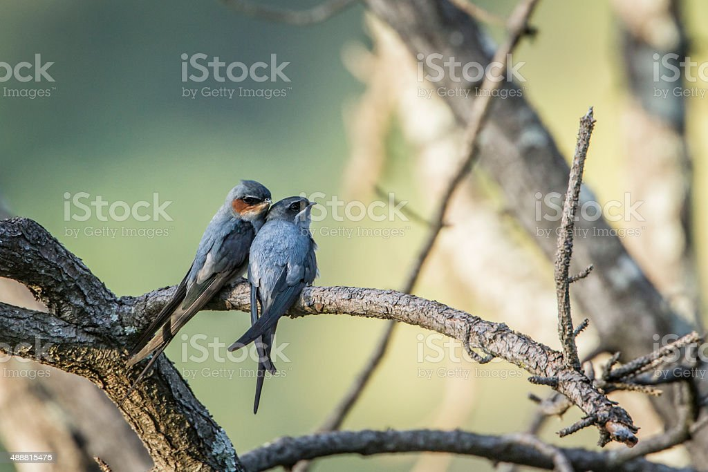 Crested Treeswift in Ella, Sri Lanka stock photo