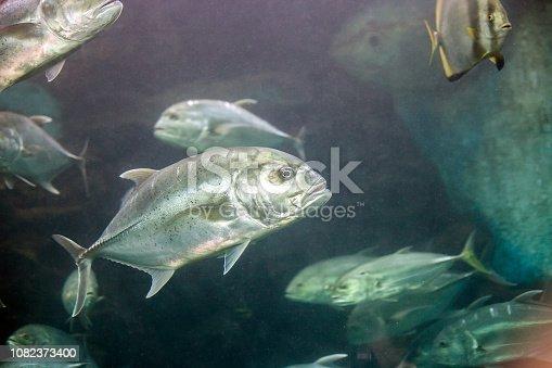 Crevalle jack silver fish. Caranx hippos or yellow cavalli fish swimming in aquarium