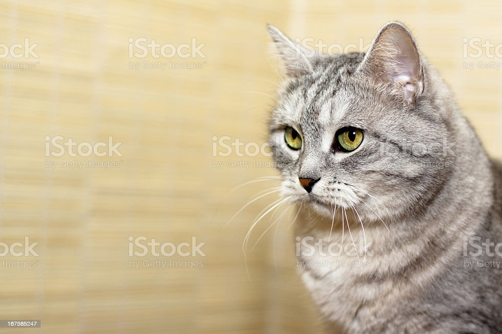 Crey tabby cat royalty-free stock photo