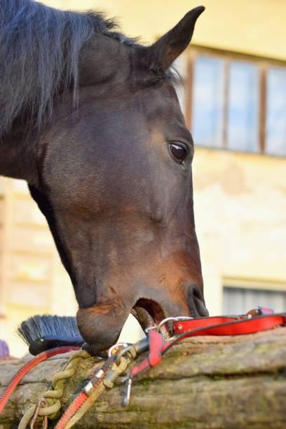 Crib biting horse - animal behavioral problem stock photo