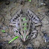 Cricket frog resting in mud among damp wetland region