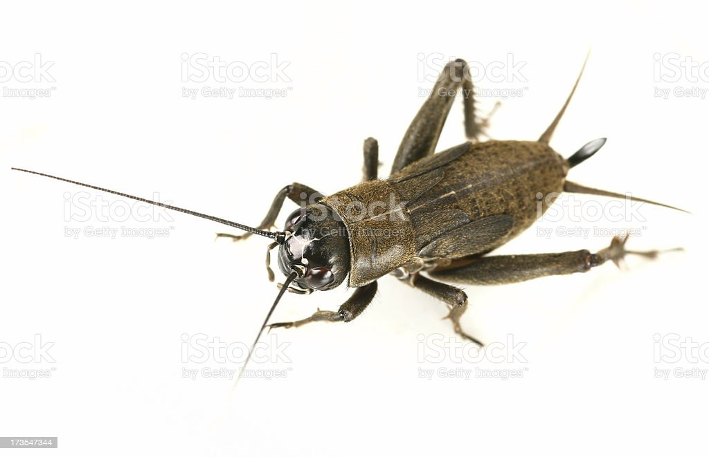 cricket Gryllus assimilis stock photo