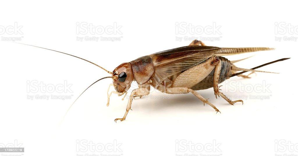 cricket Gryllus assimilis royalty-free stock photo