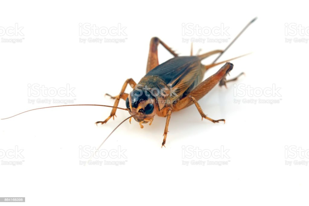 cricket in a white background, closeup of photo royalty-free stock photo